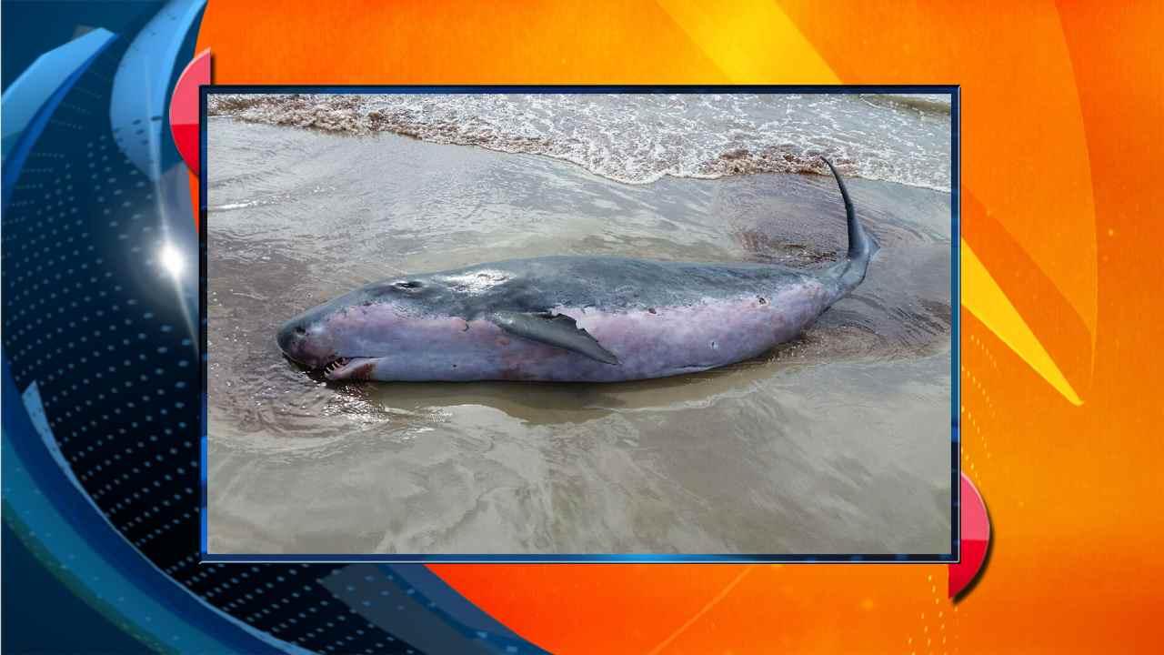 Esta imagen de una pequena ballena fue tomada en le parque Mustang Island.